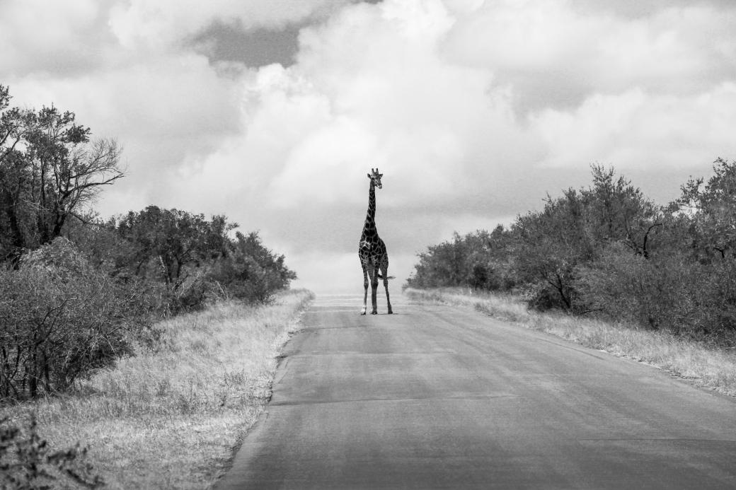 giraffa.jpg