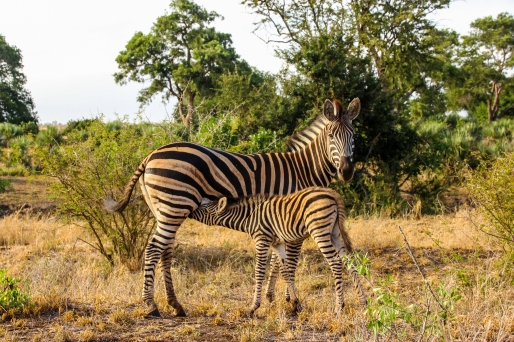 Zebre al Kruger 2018